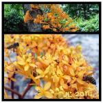 Saraca Thaipingensis  Chinese name -worry free tree.